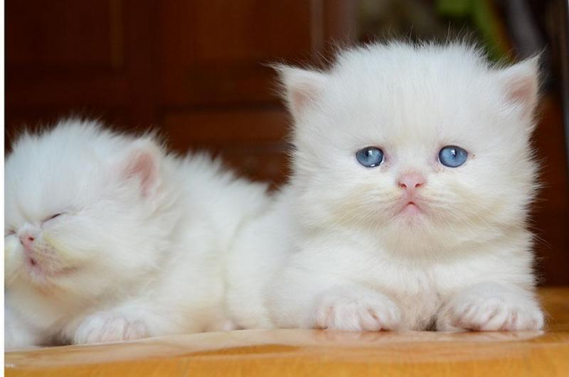 Các giống mèo việt nam được yêu thích