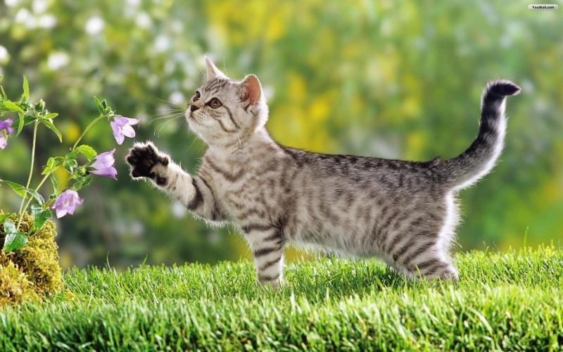 Mèo việt nam thuộc giống gì? Đặc điểm và cách nuôi dưỡng