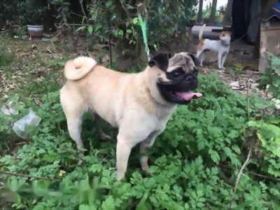 Tìm nhà mới cho em chó lai Phú Quốc F1