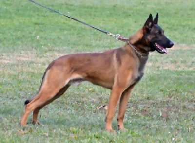 Bán chó Malinois đực 10 tháng