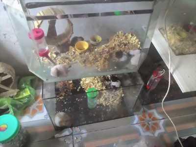 Bán chuột dễ thương dễ nuôi dễ chăm