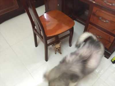 Bán cún chihuahua