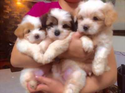 Bán rẻ 3 con Shih Tzu được 2 tháng tuổi.