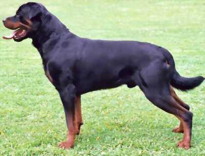 Rottweiler cái tơ