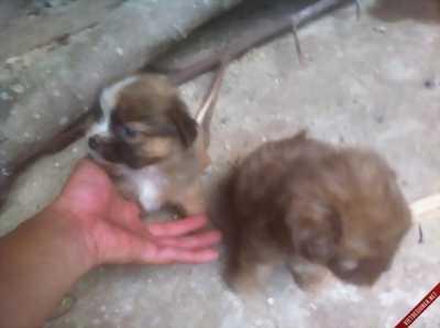 Bán chó Nhật con 2 tháng tuổi