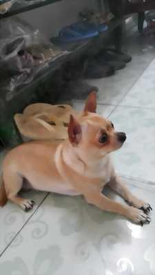 Chihuahua vàng