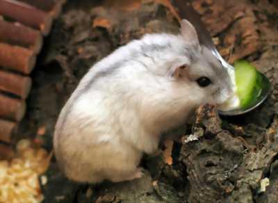 Hamter winter white giống