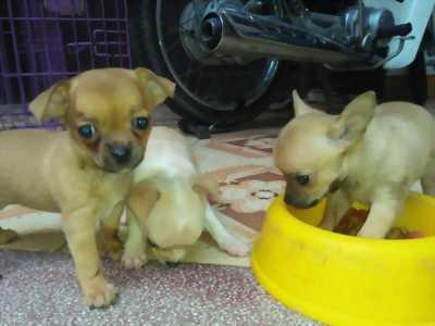 Chó Chihuahua thuần chủng