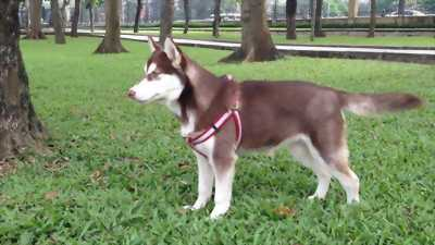 Cần bán chó Husky màu nâu đỏ giá hữu nghị