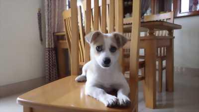 Bán chó 3 tháng tuổi