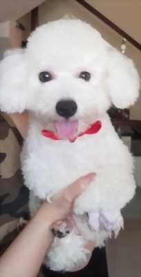 Poodle tiny đực giống màu trắng cần tìm nhà mới