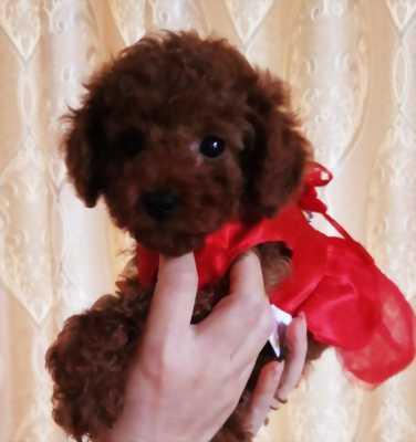 Poodle nâu đỏ cái bố mẹ nhập Thái