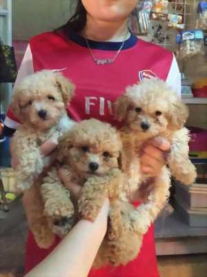 Tìm chủ cho 3 bé poodle tiny