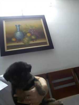 Bán chú chó Tommy đẹp tuyệt cực xinh