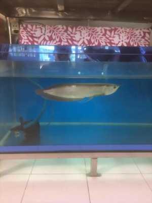 Bán cá ngân long 400k cá ở huyện bình chánh