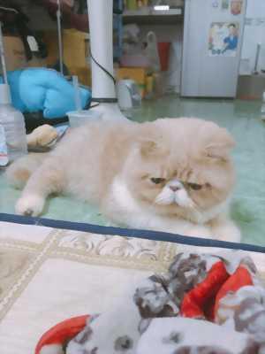 Nhượng lại mèo exotic bicolor cream phối sung