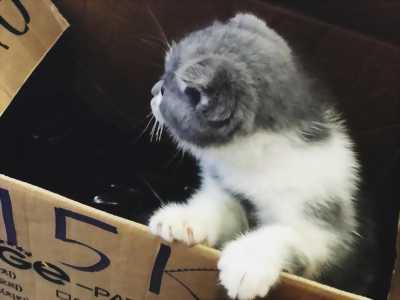 Bán em Mèo Scottish 3 tháng tuổi