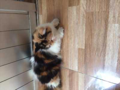 Cần bán mèo ba tư