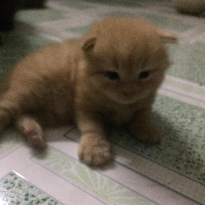 Bán gấp 1 Bé Mèo Anh LD Vàng 1,7 triệu /Bé