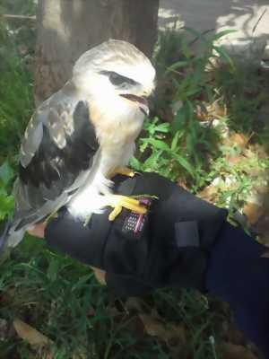 chim diều hâu