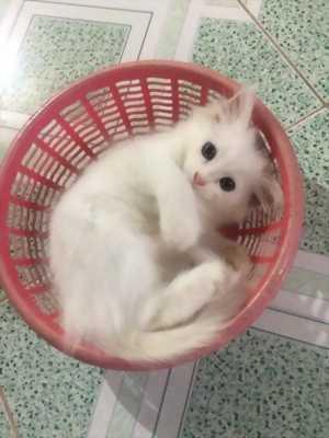 Tìm chủ mới cho 5 bé mèo Anh lông Dài  màu Trắng, Nâu, Xám