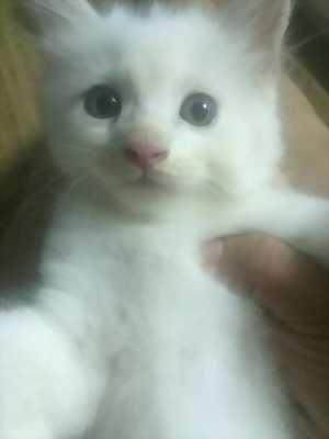 Tìm chủ mới cho các Bé Mèo Anh lông dài  2 tháng tuổi
