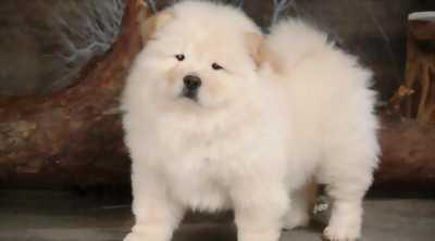 Bán rẻ chó Chow Chow cực đáng yêu