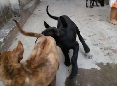 Cần bán bầy chó Phú quốc vện lưỡi đen 6 tuần rất thông minh