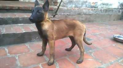 Bán rẻ con Chó maliloi thuần chủng