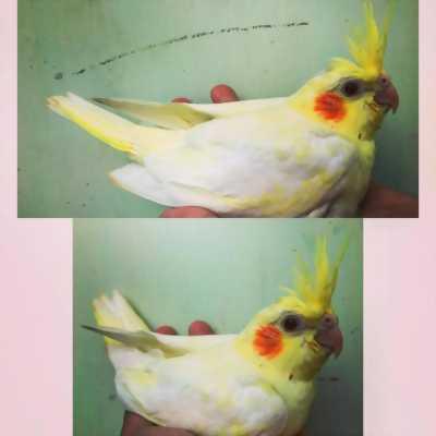 Cockatiel baby (vẹt mã lai)