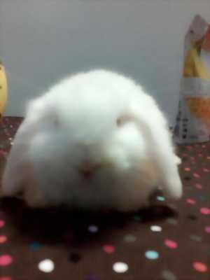 Thỏ minilop, tai cụp tp.hcm