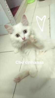 Bán mèo anh lông dài ở TPHCM