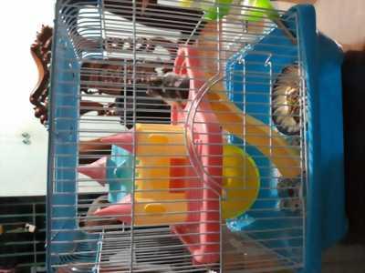 1 bé chuột hamster bear và lồng ,đồ ăn