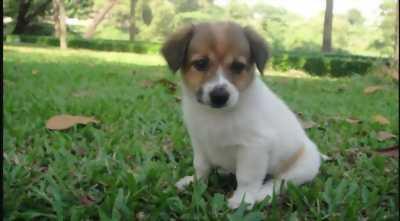 Chó Nhật ''Con''