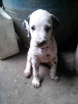 Tìm chủ mới thương yêu em chó đốm 3 tháng tuổi này