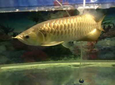 Bán Cá Rồng Quá bối cực đẹp ( không tật lỗi cá như hình )