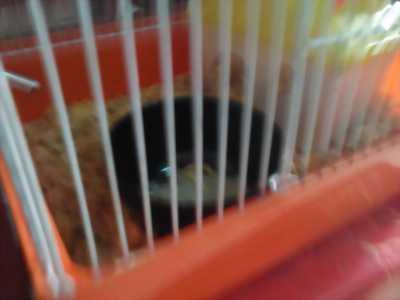 Bán chuột Hamster