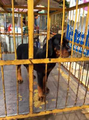 Rottweiler con bầy 2 tháng
