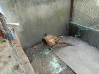 Cần bán chim trĩ thịt tại tphcm