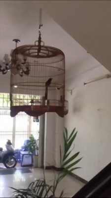 Bán  chim Lửa sẻ 2 mùa siêng hót