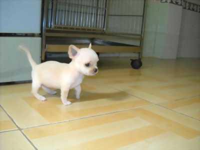 Chó CHIHUAHUA cute dễ thương lắm, ngoan lắm, canh nhà tốt, giá cả sẽ fixxx mạnh nhé