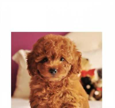 Chó POODLE cute dễ thương lắm, lông xù màu vàng nâu, canh nhà tốt, ăn khỏe, dễ nuôi