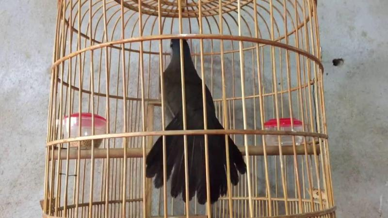 Chim khướu nuôi 3 năm